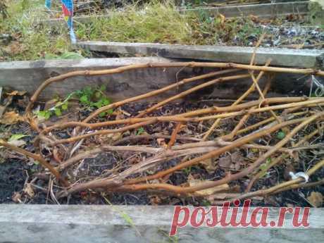 Укрытие винограда осенью   Моя цветущая дача   Яндекс Дзен