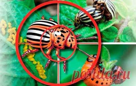 Самоуничтожение колорадского жука!