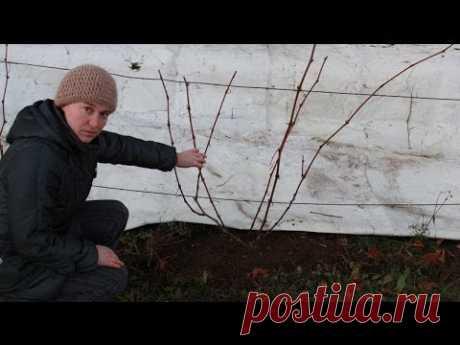 (10 +) Como cortar la uva. El pedazo de la uva en otoño. - mi jardín