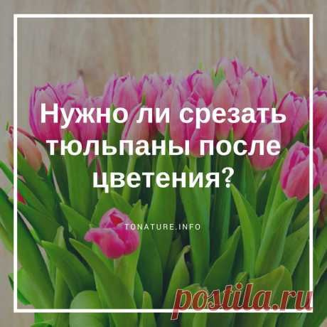 НУЖНО ЛИ СРЕЗАТЬ ТЮЛЬПАНЫ ПОСЛЕ ЦВЕТЕНИЯ?  #toNatureInfo #Тюльпаны #Цветы #КомнатныеРастения #Растения #Дача #Сад #Огород #СрезатьТюльпаны #ВыращиваниеТюльпанов #ТюльпаныУход #ОбрезкаТюльпанов