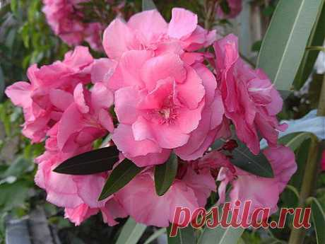 Цветы олеандра.