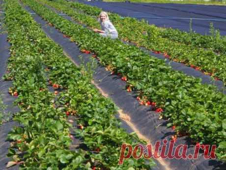 """Четыре """"революции"""" в производстве ягод земляники – рассказывает специалист"""