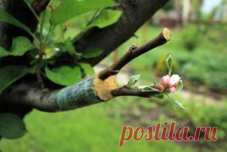 На какую ветку делается прививка дерева   Уход за садом (Огород.ru)