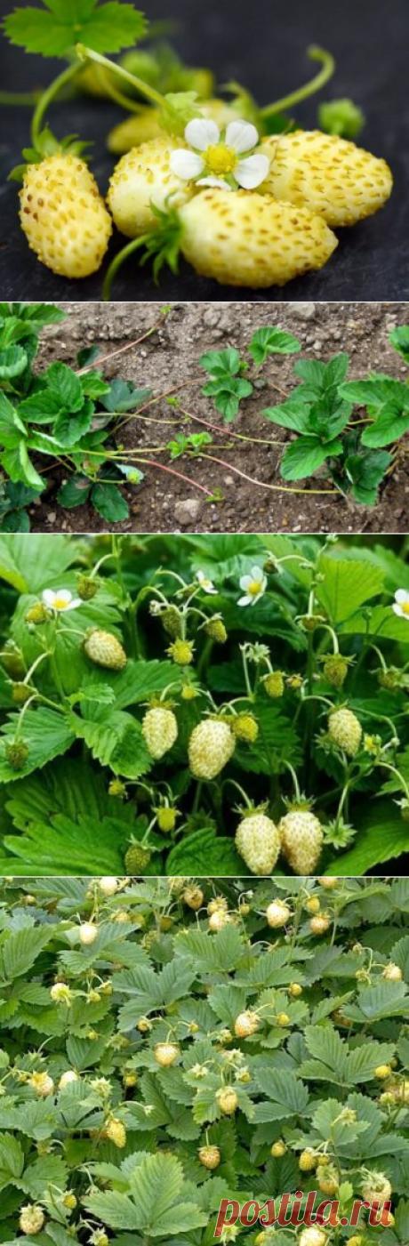 Белая земляника: сорта, полезные свойства, выращивание ягоды