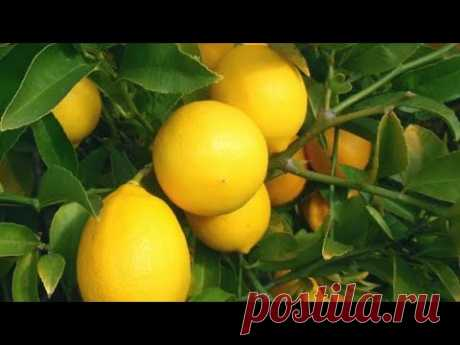 Лимоны дома круглый год. Лимон Мейер.