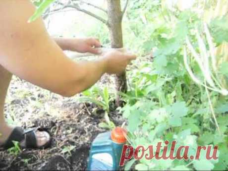 How to struggle with ants and a plant louse on a fruit-tree.