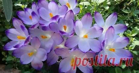 8 красивых растений, цветущих в марте Хотите, чтобы на вашем дачном участке запахло весной уже в начале марта? Посадите осенью эти красивые довольно известные цветы – и они распустятся в первый весенний месяц.