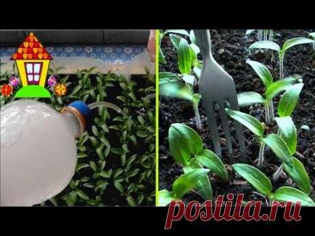 Подкормка рассады томатов. Чем подкормить рассаду - YouTube