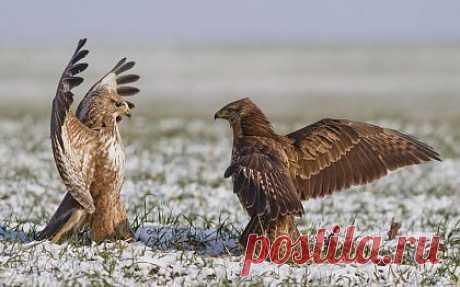 Фото момент поединка двух соколов