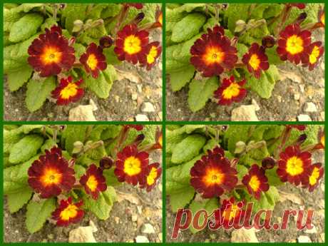 Коллаж с цветками примулы.  ---    Collage mit Primel Blume  Kostenloses Stock Bild HD - Public Domain Pictures