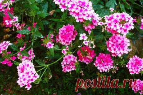 Какие цветы нужно сеять на рассаду в декабре и январе? | Прочие многолетники (Огород.ru)