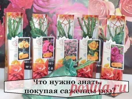 ЧТО НУЖНО ЗНАТЬ, ПОКУПАЯ САЖЕНЦЫ РОЗ? Какая яркая и красивая клумба с цветущими розами! Имея свой огород, эту красоту можно вырастить самому. Для этого надо купить саженцы роз. На какие же моменты стоит обратить внимание при их покупке?