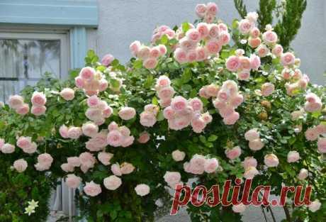 Французский шарм в саду: роза Пьер де Ронсар   6 соток