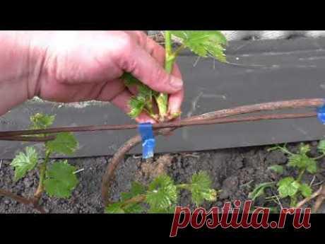 Нормировка винограда молодыми побегами