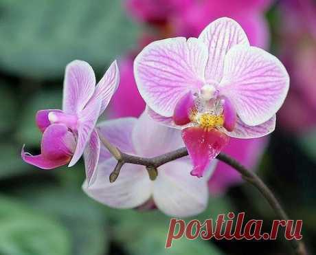 Орхидея домашняя - уход.