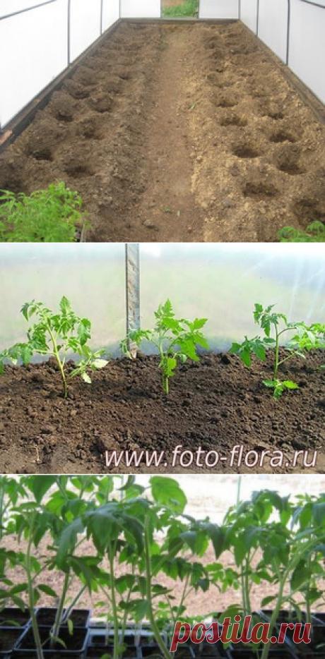 Что нужно учесть при высаживании помидоров в теплицу, когда высаживать рассаду, как это сделать правильно, советы огородников