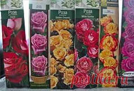 Как сохранить саженцы роз до высадки — FloweryVale.ru