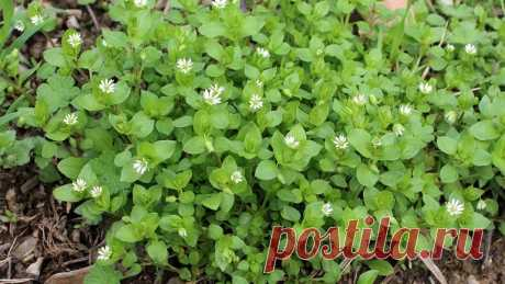 Знакомая всем трава мокрица: полезные свойства, причины не называть растение сорняком