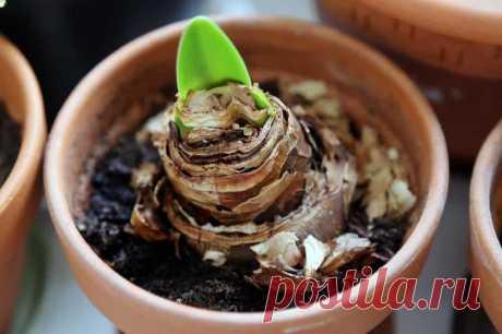 Как заставить цвести гиппеаструм в домашних условиях Причины отсутствия цветения Причин, почему гиппеаструм не цветет, достаточно много:Луковица находится очень глубоко в земле или она недостаточно созрела для цветения. Размер ее должен быть не меньше 6...