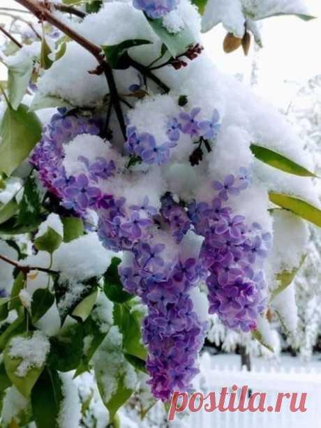 Уникальный кадр, сочетание сирени с майским снегом!      Это майна Карпатах, 2019 год. Бело-Сиреневая Сказка...