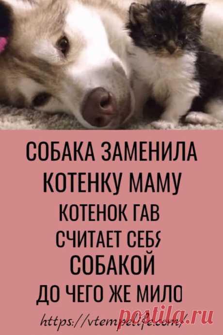 Собака заменила котенку маму. Котенок Гав, считает себя собакой. До чего же мило! | В ТЕМПЕ ЖИЗНИ