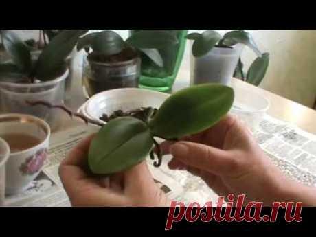 mini falenopsis. La plantación, la partida. La orquídea - el signo del zodíaco - el Pez.