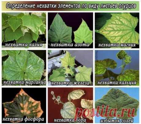 Los síntomas de la falta de los microelementos cerca de los pepinos\u000d\u000aLos síntomas de la falta cada uno las sustancias necesarias nutritivas cerca de los pepinos se manifiestan muy precisamente y muy seguramente.\u000d\u000a El magnesio\u000d\u000aCon la falta del magnesio las hojas del pepino se hacen frágiles y al tipo parecen quemado. Adquieren una coloración más clara (verde pálido, amarillento), es intenso-verde hay solamente unas venas.\u000d\u000a El nitrógeno \u000d\u000aCon la falta del nitrógeno los tallos se hacen delgados, hallan la dureza y la fibrosidad. Las hojas inferiores bajan y se ponen amarillo