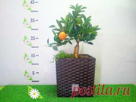 Цитрусовое дерево Кумкват Высота 40см Возраст 7лет