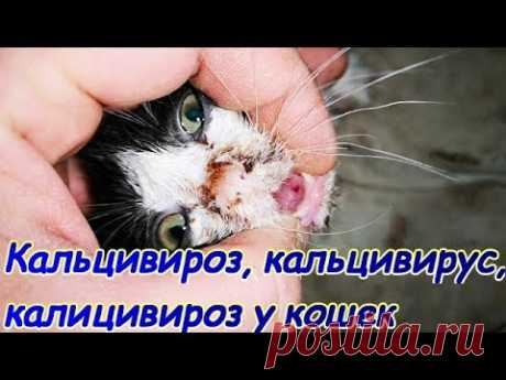 Кальцивироз, кальцивирус, калицивироз у кошек
