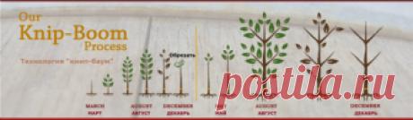Карликовые плодовые деревья купить саженцы в Украине, Киев, Харьков цены с доставкой Новой Почтой