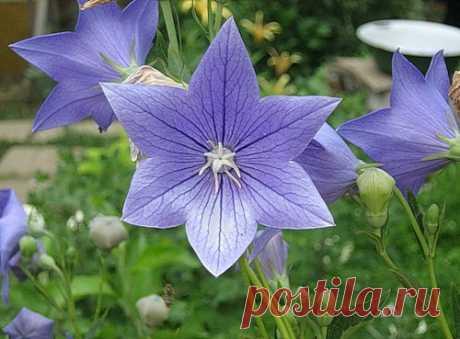 Платикодон крупноцветковый: выращивание из семян, пересадка в грунт