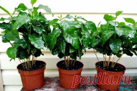 Какие бывают болезни у кофейного дерева