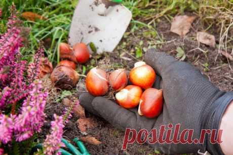 Когда выкапывать и как сохранить луковицы тюльпанов, гиацинтов, нарциссов, крокусов   Тюльпаны, Нарциссы (Огород.ru)