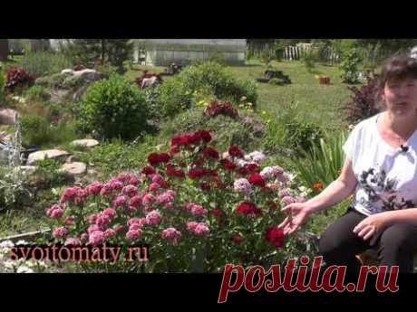 «Незаслуженно забыта» – гвоздика турецкая (бородатая) - YouTube