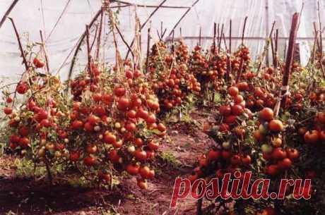 Чтобы любимые помидоры были крупными и созревали быстрее, приготовим для них полезные напитки: — Socialpost