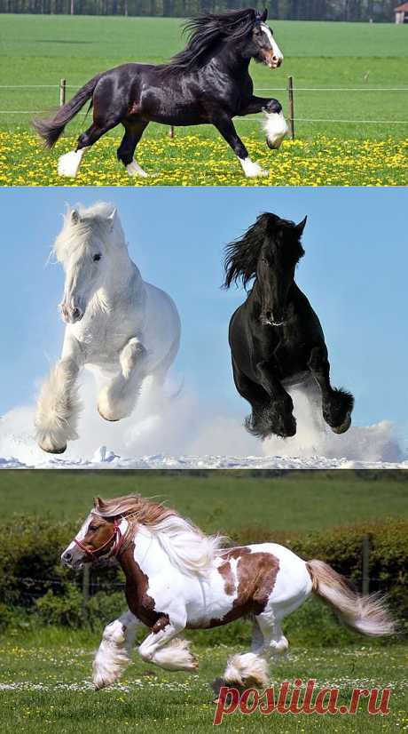 Самая большая лошадь в мире - порода шайр - Фото и статья