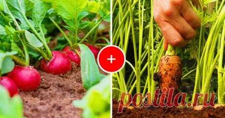 Лучшие соседи по грядке - какие овощи и цветы лучше посадить рядом друг с другом Наши предки, более приближенные к естественной среде, были очень наблюдательные в части того, что давало возможность выжить. Например, стараясь вырастить побольше овощей, они заметили, что этому способствовало соседство некоторых растений друг с другом, и стали применять это на своих огородах...