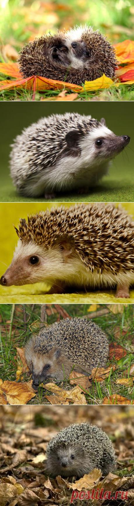 Смотреть изображения ежей | Зооляндия
