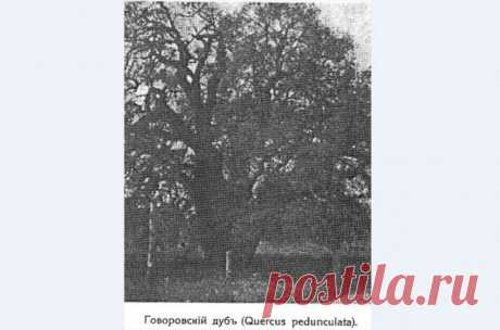 """Самое старое дерево Крыма срубили в 1922 году в селе Биюк-Сюрень (Танковое) Бахчисарайского района. Это был дуб черешчатый, возраст которого насчитывал около 1500 лет. Знаменитый садовод Лев Симиренко считал его старейшим деревом не только Крыма, но и всей Европы. Дуб рос в фруктовом саду в пойме реки Бельбек, около моста, в имении Говорова (поэтому дерево часто называли """"Говоровский дуб""""), и по последним измерениям, проводившимся по заданию Л. П. Симеренко в 1910 году, ок..."""