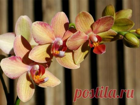 Орхидея фаленопсис уход в домашних условиях болезни и вредители