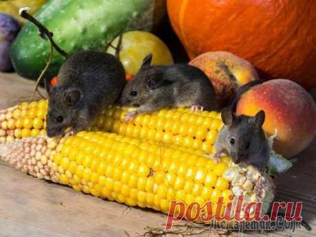 14 растений, которые помогут прогнать мышей с вашего огорода С чем только ни приходится бороться дачникам за качество урожая! Но какие бы меры ни предпринимались, находится тот, кто так и мечтает погрызть морковь или картошку в кладовке, испортить цветы на клум...