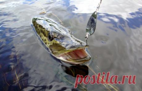 Ловля щуки на блесну колебалку. Осень - время ловить хищника. | FishManual.ru - рыбалка! | Яндекс Дзен
