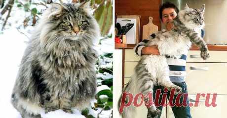 16 здоровенных котов, в сравнении с которыми обычные — просто мелкотня 😂 ↪ Бывают же такие красавцы!