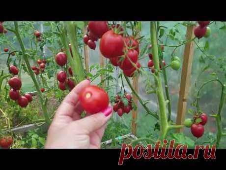 Томат Де-Барао красный / Урожайный сорт / Индетерминантный сорт
