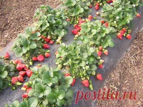 Повышение урожая земляники