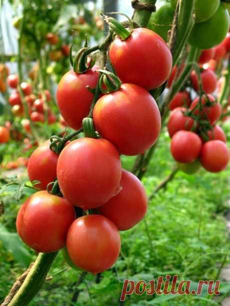 Как избавиться от фитофторы томатов - полезные рецепты