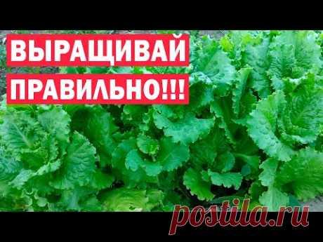 Секреты большого и раннего урожая салата! Как получать урожай долго?