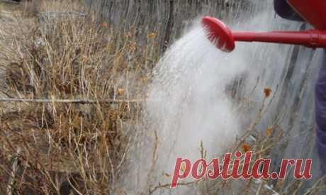 Ошибки, делающие полив смородины кипятком бесполезной и вредной процедурой | 6 соток