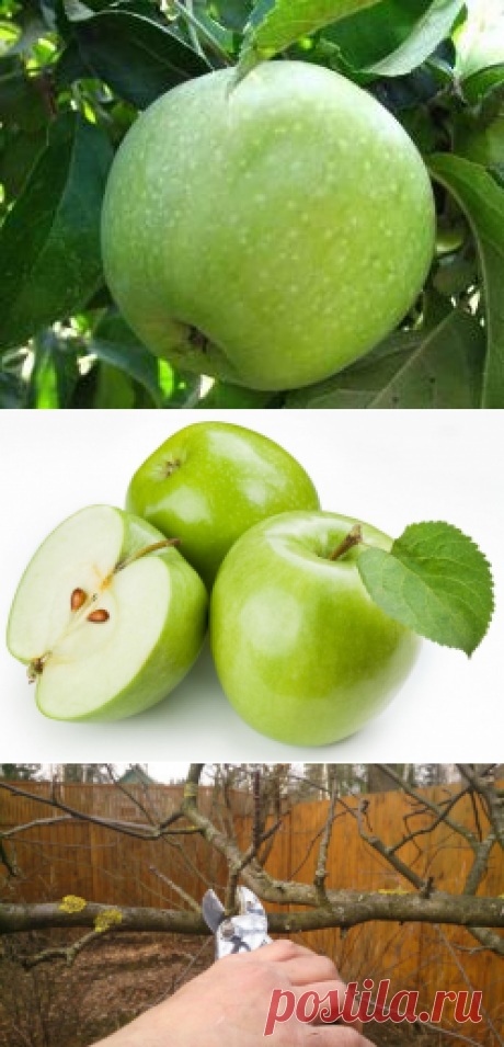 """Apple-tree of \""""Semerenko\"""": the description of a grade, a nutrition value, rules of landing and leaving, harvesting and storage, application in cookery, a photo"""