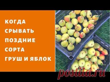 Зимние сорта груш ,яблок. Когда срывать и как укладывать на зимовку ?